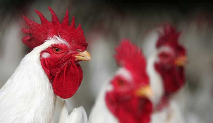 ozone-generator-for-poultry